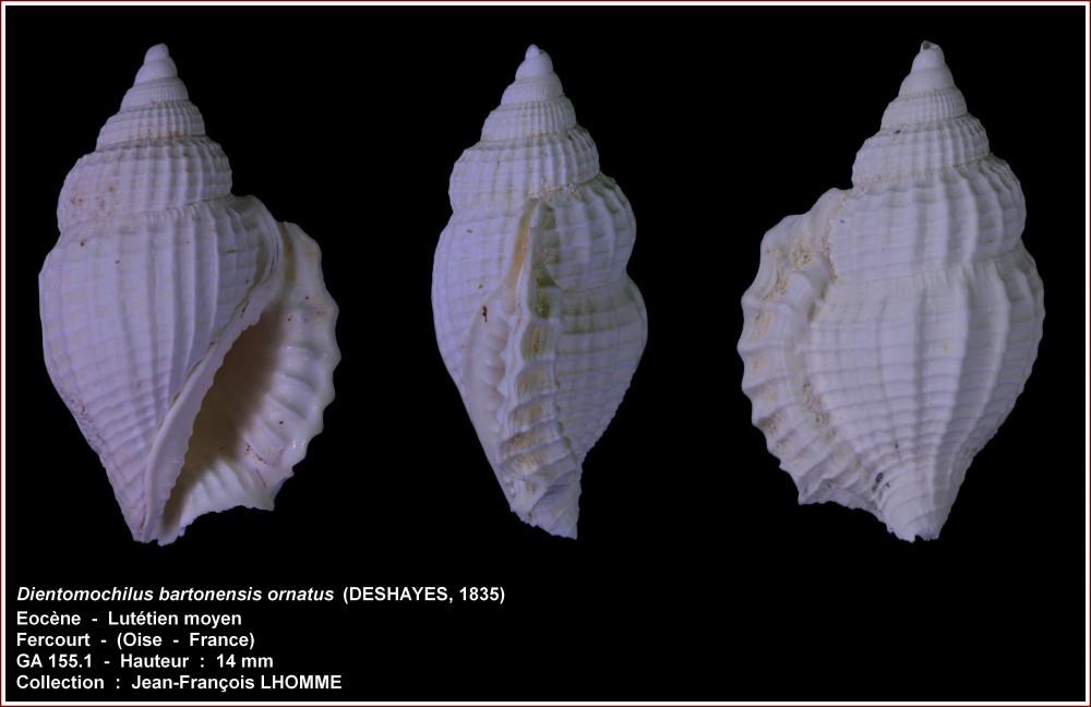 pl_dientomochilus_ornatus_fercourt1.jpg