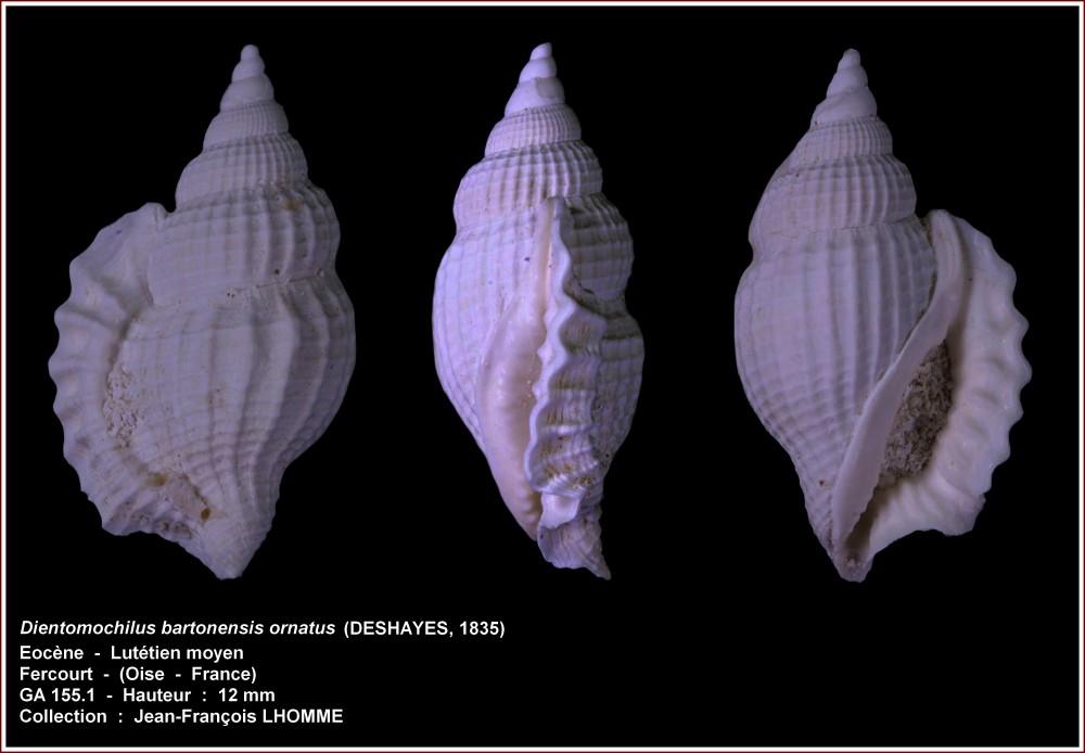 pl_dientomochilus_ornatus_fercourt2.jpg