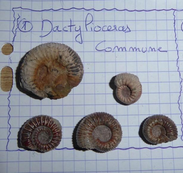 Dactylioceras.JPG.bc0380efb9ee18468690488f1b974923.JPG