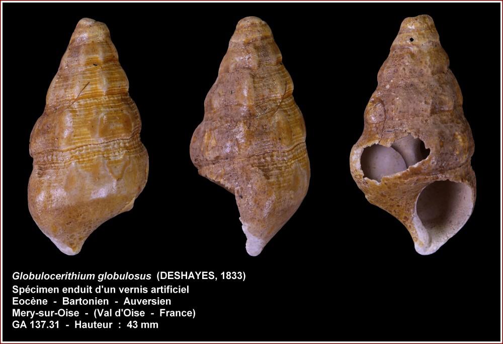pl_globulocerithium_globulosus_mery.jpg