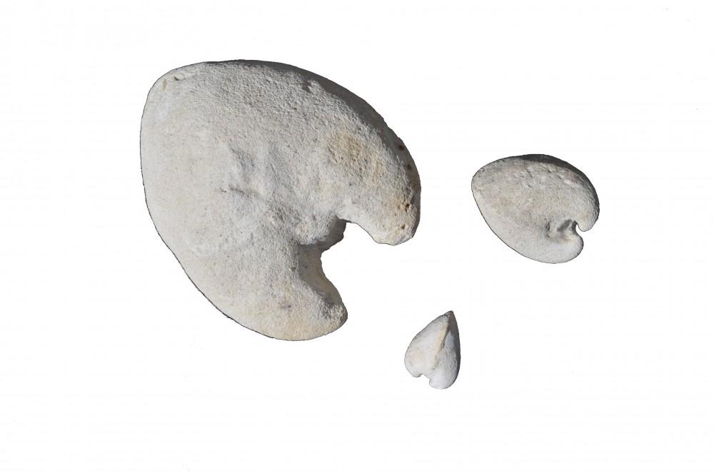 Cardium spillmani (7).JPG