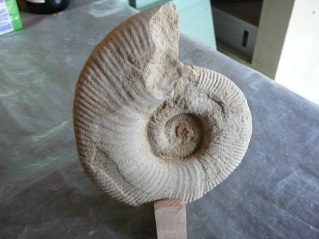 Ammonite Subdiscosphinctès Kimméridgien inférieur et Oxfordien supérieur Chateauroux Indre France 3.JPG