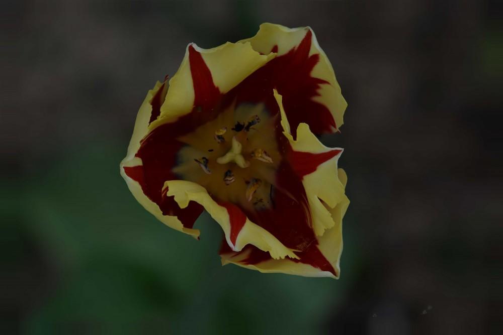 Tulipe1.jpg
