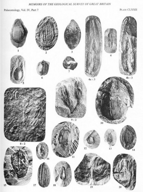 1960197988_zgrainesfossiles(4).thumb.jpg.e2f316df9cfd99a014ffc91129e5630e.jpg