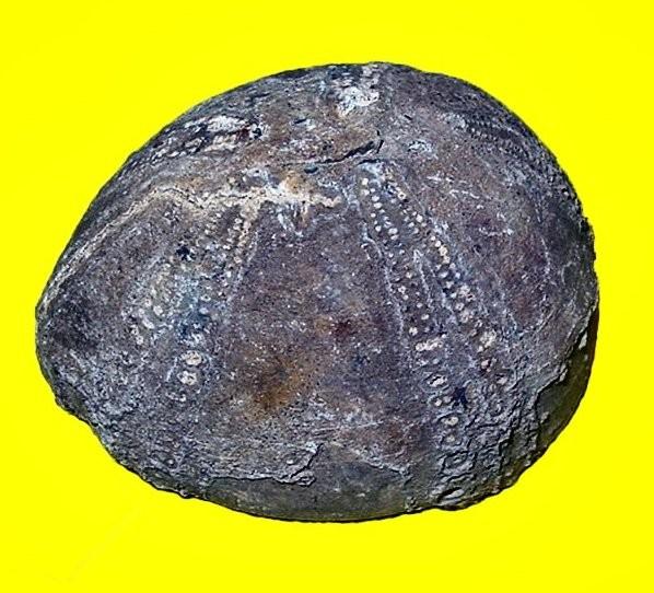 Oursin (5 x 4 cm)_Senonien_St André de l'Eure_1.jpg