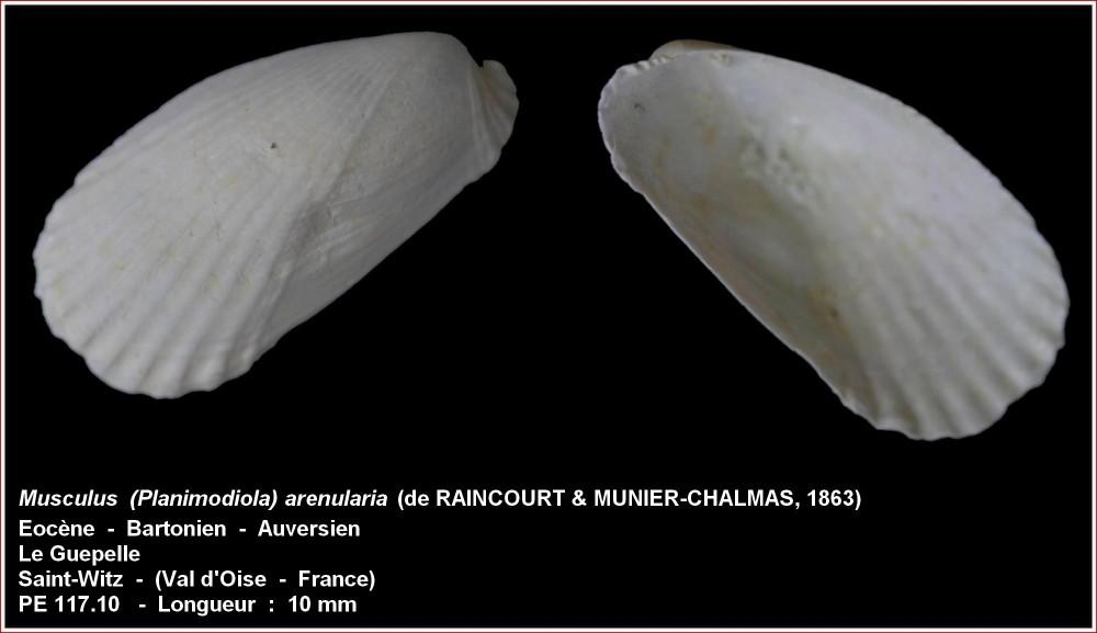 musculus_arenularia.jpg