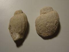Moules de Gastéropodes (Volutidés ?)
