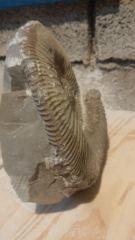 Ammonite en cours de dégagement