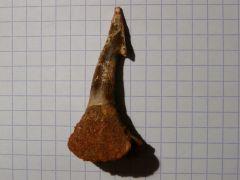 Dent rostrale de requin
