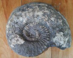 Ammonite - 30cm
